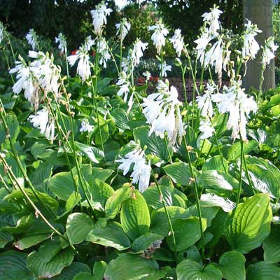 hartlelie - Hosta in volle bloei